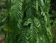 Epipremnum pinnatum - Dragon Tail plant