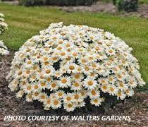 dwarf shasta daisy - Google Search