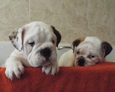 Baggy Bulldogs Bulldog Puppies, Cute Puppies, Cute Dogs, Dogs And Puppies, Funny Bulldog Pictures, Puppy Breath, Baby Bulldogs, Bully Dog, Crazy Dog Lady
