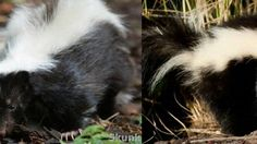 Skunks are mammals known for their ability to spray a liquid with a strong odor. Different species of skunk vary in appearance from black-and-white to brown . Wild Life, Youtube, Animals, Animales, Animaux, Wildlife Nature, Animal, Animais, Youtubers