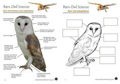 Barn Owl adaptations worksheet