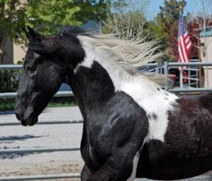 American Trail Horses- Tennessee Walking Horses For Sale & Trail Horses For Sale