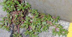 Si vous voyez cette herbe dans votre jardin, n'y touchez pas! Voici 10 bonnes raisons pour ne pas la tuer! - Trucs et Bricolages