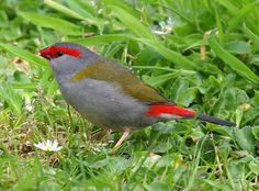 Australian Finches > Finch Varieties > Australian Finches > Red Browed Firetail
