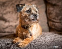 Myrtle - Myrtle is our friends border terrier. She is a real poppet. Border Terrier Puppy, Terrier Puppies, Dogs And Puppies, Doggies, Best Dog Toys, Best Dogs, Shepard Dog Breeds, Scruffy Dogs, Fox Dog