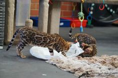 Bengal cat: Arkadia & Rommi playing