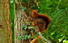Heute ist Tag des Eichhörnchens.  ...   Mal sehen, wann das erste wieder im Garten auftaucht. :-)