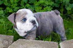 soooooo adorable blue eyed english bulldog pup Blue English Bulldog Puppy Dog