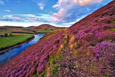 The green valley river mountains in the Pentland Hills covered by violet heather flowers. Click through to see 28 mind blowing photos of Scotland! United Airlines, Beautiful World, Beautiful Places, Parcs Canada, Heather Flower, Heather Plant, Drive In, Image Nature, Scotland Travel
