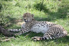 Lucky me to spot this beauty in the shadow Travel Tours, Air Travel, Cheetahs, Kangaroo, Safari, World, Videos, Animals, Beauty