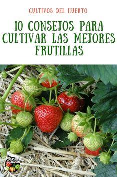 10 consejos para cultivar las mejores frutillas. Simples trucos a tener en cuenta que nos darán una buena producción de frutillas sin complicarnos la vida #jardin #jardineria #plantas #huertourbano #huerto #frutas