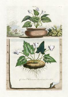 Abraham Munting Botanical Prints 1696 - Cyclamen hederaceum angulosum flore albo