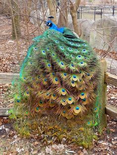 What a beautiful peacock also known as as peafowl. #peacocks #birds  Cara Sposa