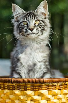 15 weeks old Maine Coon kitten.