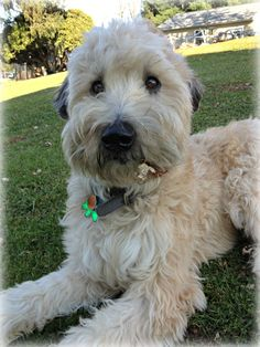 sweetest soft coated wheaten terrier ever <3