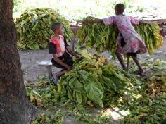 children working with tobacco plants