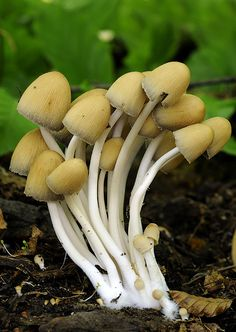 Nahuby.sk - Fotografia - hnojník ligotavý Coprinellus micaceus (Bull.) Vilgalys, Hopple & Jacq. Johnson