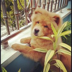 i love chows!!!!!