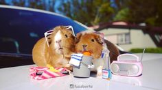MGP and the Fuzz try to get a summer job. But they're really bad at it because guinea pigs can't wash cars. (SOUND ON)