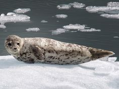 Harbor Seal by Phillipa Alexander, via 500px