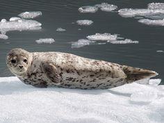 Harbor Seal by Phillipa Alexander, via 500px