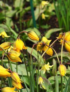 yellow 25 Erythronium /'Pagoda/' Bulbs good for shade Bulk dog/'s tooth violet