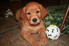 why are golden retriever puppies so cute?!?
