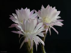Flor de cactus.
