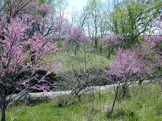 Kansas Wildflowers and Grasses - Redbud trees in Riley County, Kansas
