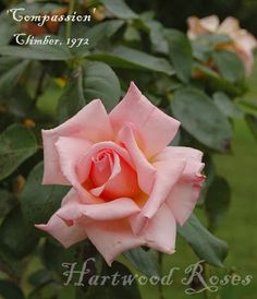 'Compassion', climbing rose.  Hartwood Roses.