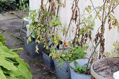 Oravankesäpesä | tomaatit