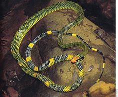 Royal Tree Snake - Gonyophis margaritata Scary Snakes, Spiders And Snakes, Creepy, Colorful Snakes, Reptile House, Snake Venom, Beautiful Snakes, Wild Creatures, Creature Feature