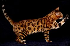 Bengal Cats  Melissa is right. These are GORGEOUS!!!  Where can I get me one of these out this way?