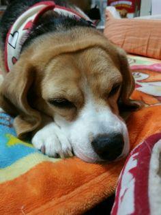Beagle   My baby Fuku.