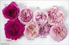 Flirty Fleurs Pink Garden Roses Study with Alexandra Farms Princess Kishi Rom Flower Chart, Flower Patterns, Flower Designs, Pink Garden, Garden Roses, Color Magenta, David Austin Roses, Rose Varieties, Types Of Roses