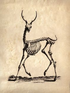 18x24 Vintage Science Animal Study Deer Skeleton  by curiousprints, $30.00