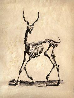 18x24 Vintage Science Animal Study Deer Skeleton  by curiousprints, $30.00