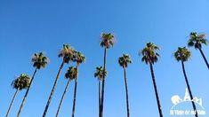 En #California las #palmeras se vuelven hipnóticas... XD #palmtrees #palm #palmtree #palms #californiaadventure #californialove #californiadreaming #california_igers #californialiving