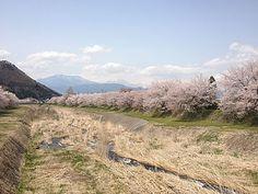 下八町鮎川堤防の桜 4/19(満開) Country Roads