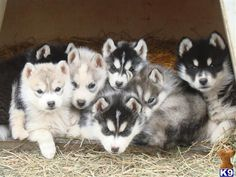 Siberian husky pups Champion bred - Siberian Husky Puppies for Sale