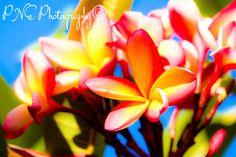 Dreamy Frangipani #photo #photography #photoart #photoblog #ThePhotoHour #PNEPhotography #flowers #flowerphotography #frangipani
