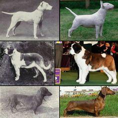 """MIRA CÓMO LA SELECCIÓN GENÉTICA HA ARRUINADO A ESTOS PERROS  La obsesión humana por seleccionar y cruzar a perros que tienen ciertas características """"deseables"""" de sus respectivas razas, ha generado un sinnúmero de problemas genéticos a los canes. Ve cómo han cambiado estas razas en 100 años y las consecuencias de la recruza. - Mira cómo la selección genética ha arruinado a estos perros - El Definido"""