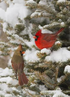 Male and female Northern Cardinal in the snow.