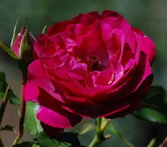 Purple Roses   Picture of purplish-red rose. This purplish-red rose is named