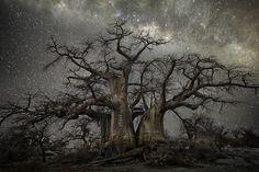 Incríveis fotos das árvores mais antigas do mundo iluminadas pela luz das estrelas