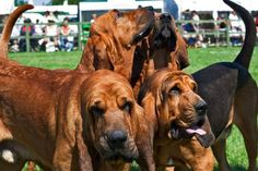 Bloodhound | Bloodhound Doggy | Bloodhounds> I can smell the stink coming from the white House ,I believe it smells like obamacare .