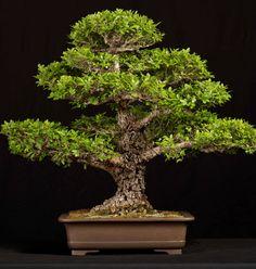 Cork Bark Chinese Elm (Ulmus parvifolia)