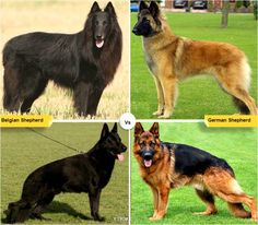 11 Dog Breeds Like the German Shepherd | Dogs