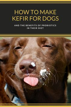 How to make kefir for dogs & the benefits of probiotics in their diet.   DIY dog food treats home made