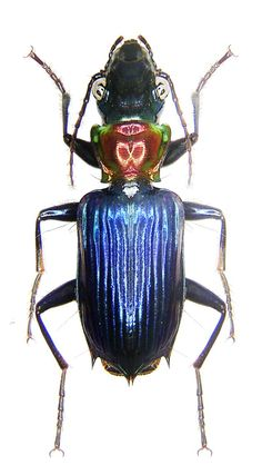 Catascopus wallacei  (see the space alien face on the thorax?)
